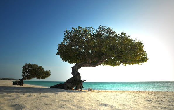 Divi trees on the beach